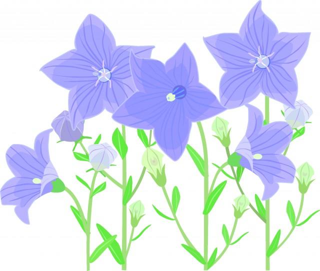 桔梗の花たち 無料イラスト素材素材ラボ
