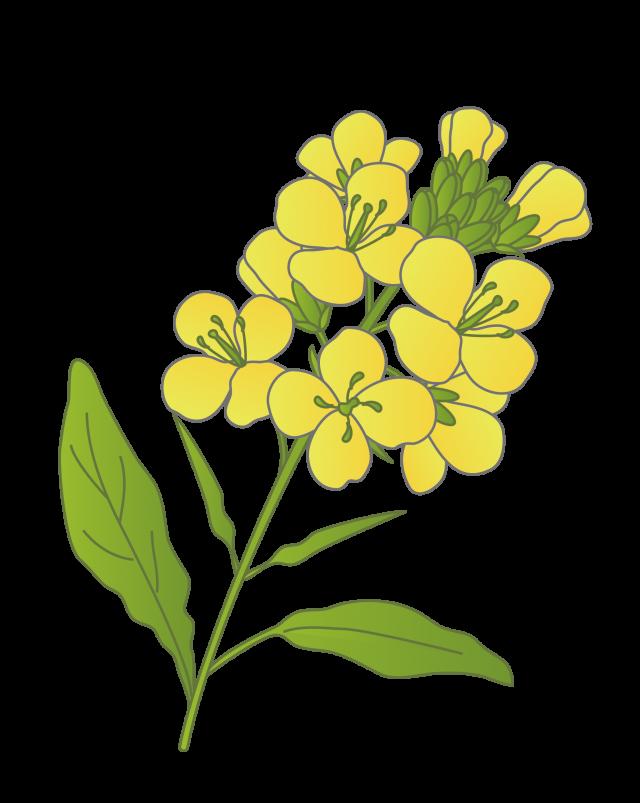 菜の花 無料イラスト素材素材ラボ