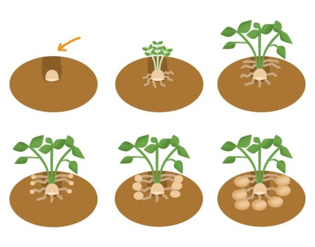 ジャガイモの育て方 無料イラスト素材 素材ラボ